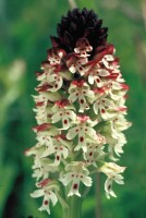 Neotinea ustulata