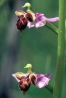 Ophrys schulzei