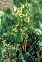 Ophrys lutea subsp. minor