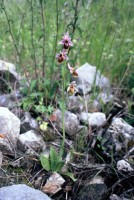Ophrys lesbis