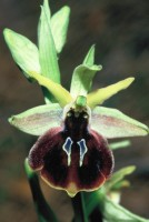 Ophrys climacis